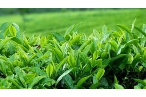 Ninh Bình phát triển thương hiệu chè xanh Ba Trại